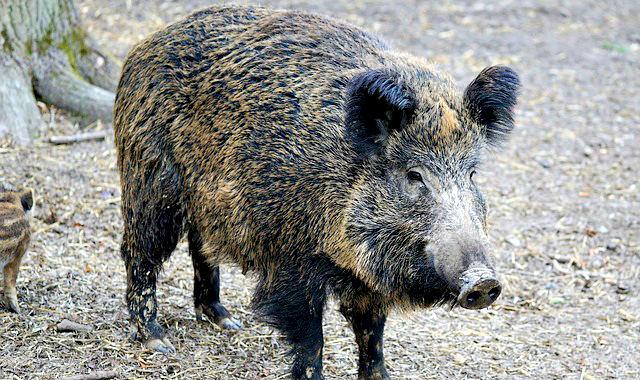 """soies de boar """"width ="""" 640 """"height ="""" 380 """"srcset ="""" https://coiffure-romanyck.fr/wp-content/uploads/2019/01/bristle-boar.jpg 640w, https://beardresource.com/wp -content / uploads / 2018/10 / bristle-boar-300x178.jpg 300w """"tailles ="""" (largeur maximale: 640 pixels) 100vw, 640 pixels"""